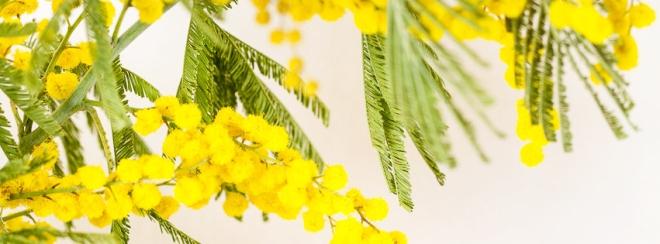 Mimosa_cover [milkandbun.com]