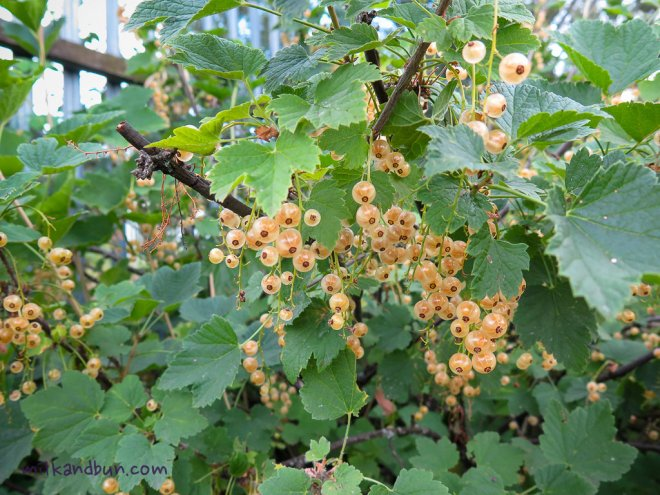 White Currants in Russia